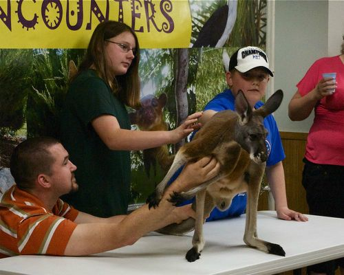 A Kangaroo Visits Our Library